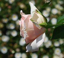 Bokeh & a Rose by Lozzar Flowers & Art