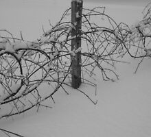 Desolate Grape Vines by here4good