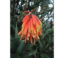 Aloe flowers Photographic Print