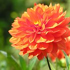Orange Dahlia by mlwaliman