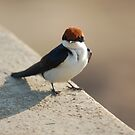 Wire-tailed Swallow by Melissa  Whitby