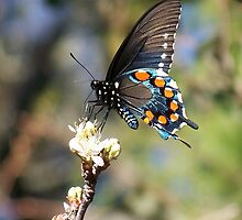 Swallowtail Butterfly by Penny Odom