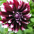 Purple and White Dahlia by mlwaliman