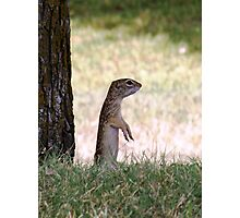 Mexican Ground Squirrel - Spermophilus  Photographic Print