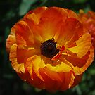 Colorful Poppy by Lozzar Flowers & Art