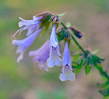 Virginia Bluebell by Scott Mitchell