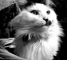 Grey and white feline by lachlanhd