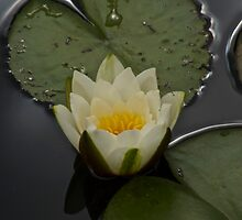 Water Lily by John Thurgood