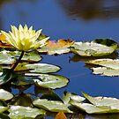 Waterlilly at Wilson Park, Berwick , Victoria, Australia. by johnrf
