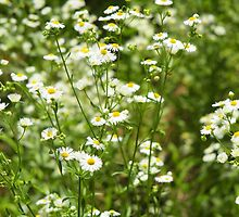 Herbs on the lawn - small white camomile flowers by vladromensky