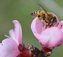 Bee on Peach Blossom by Susan Brown