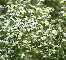 Herbs on the lawn - camomile flowers by vladromensky