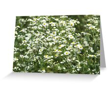 Herbs on the lawn - camomile flowers Greeting Card