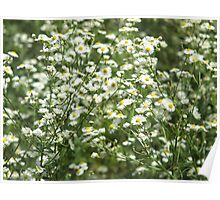 Herbs on the lawn - camomile flowers Poster