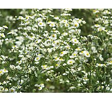Herbs on the lawn - camomile flowers Photographic Print