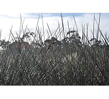 Spinifex Photographic Print
