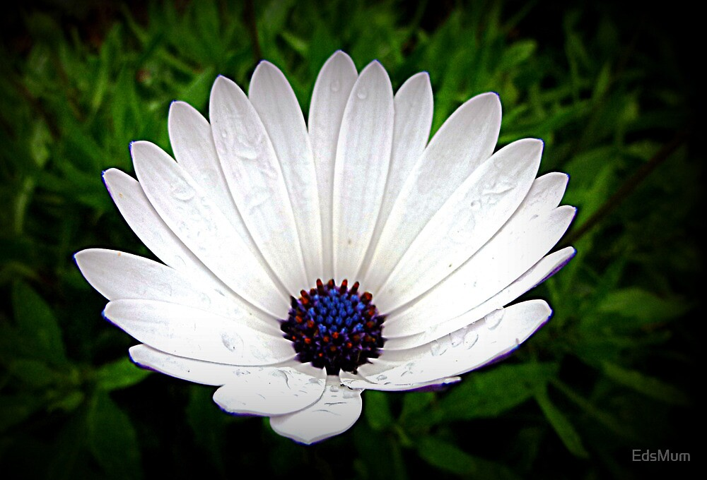 Little White Daisy -   Oct. 2010 by EdsMum