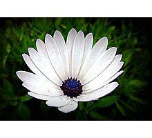 Little White Daisy -   Oct. 2010 Photographic Print