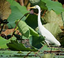 Mary River Egret  by D-GaP