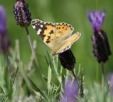 Painted Lady by Sally J Hunter