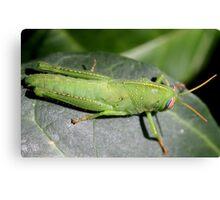 Green grasshopper Canvas Print