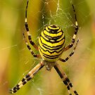 Wasp Spider by Robert Abraham