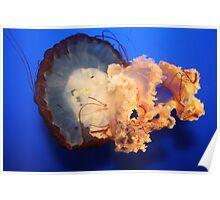 West Coast Sea Nettle Poster