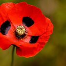 Red Poppy Papaver  by DIANE  FIFIELD