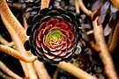 Succulent beauty by MarthaBurns