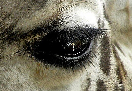 Giraffe-Eye by Savannah Gibbs
