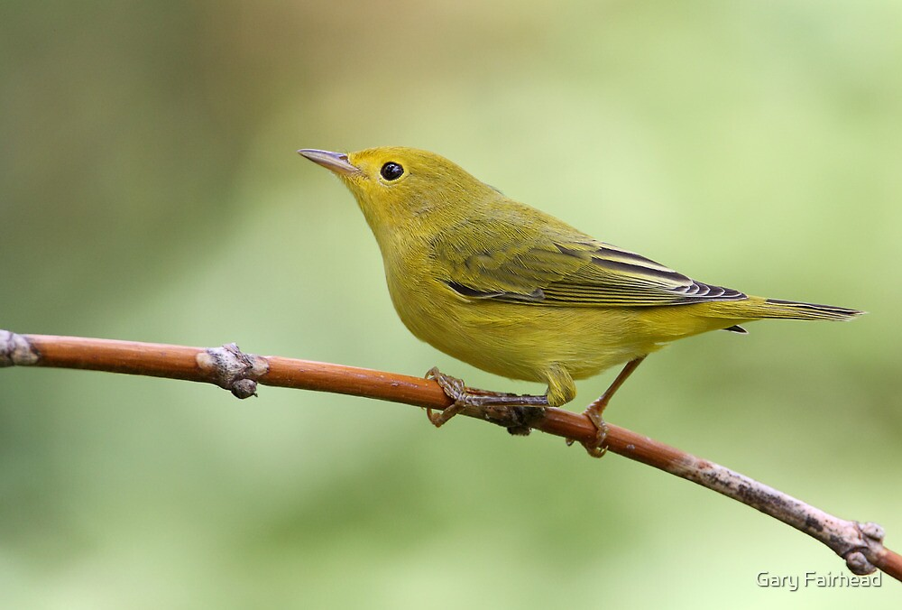 Warbler On A Stick by Gary Fairhead