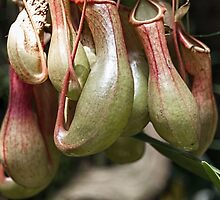 Nepenthes alata, (Winged Pitcher Plant) by Elaine Teague