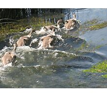 Cygnets- WaterFun Photographic Print