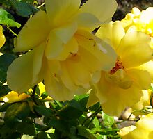 Yellow Rose  by Christine Sullivan