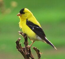 American Goldfinch by lorilee