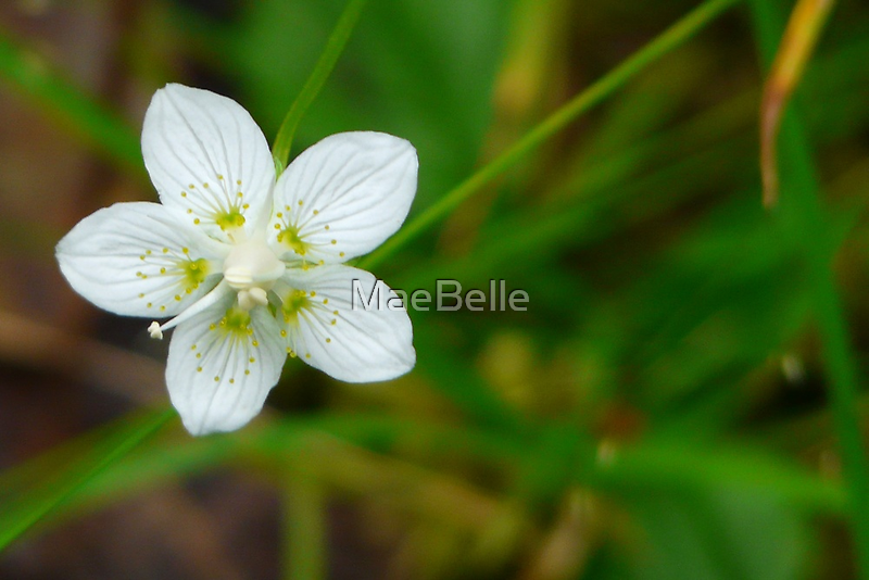 Make A Wish Upon A Star...Flower That Is. by MaeBelle