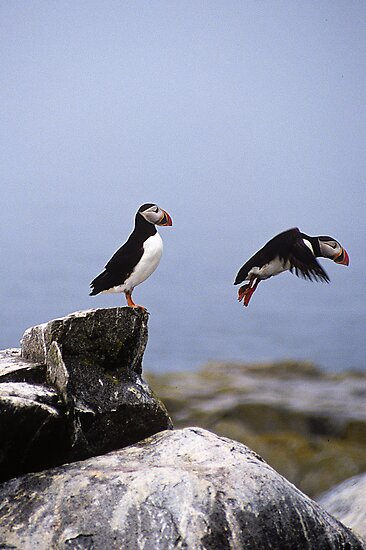 Leaping Puffin by Gail Falcon