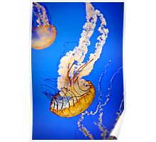 Pacific Sea Nettle (Jellyfish) Poster
