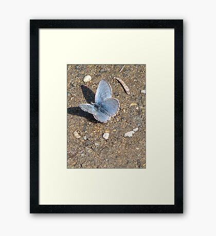 Tiny blue butterfly at Tipsoo Lake in Mt. Rainier Nat'l Park Framed Print