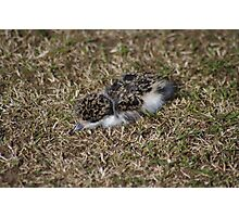 Newly hatched Plover Photographic Print
