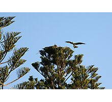 Clever Nesting Osprey Photographic Print