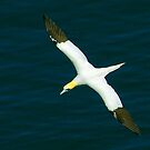 Gannet #1 by Trevor Kersley