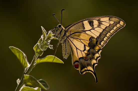 Tiger Swallowtail Butterfly Macro by Kuzeytac