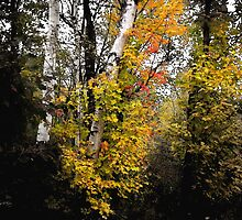 Hebron Birches Along the Cockermouth River by Wayne King