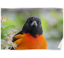 Baltimore Oriole & Apple Blossums Poster