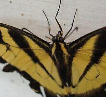 Eastern Tiger Swallowtail Butterfly by Michele Markley