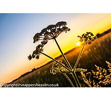 Cowslip at sunset from Meadowflower Collection  Photographic Print