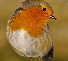 Modelling Robin by Gareth Jones