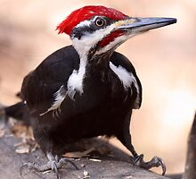 Pileated Woodpecker At Eye Level by Gary Fairhead