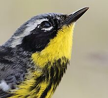 Magnolia Warbler in Breeding Colors by William C. Gladish